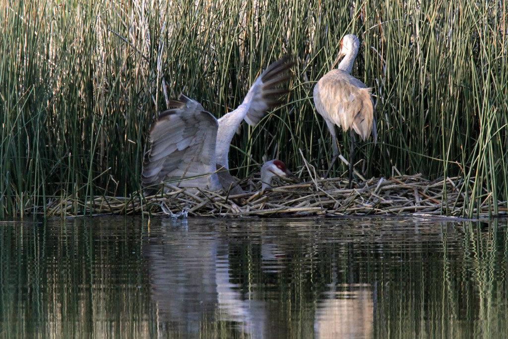 Greater Sandhill Cranes - nest return-1-ksteele-IMG_11107-web