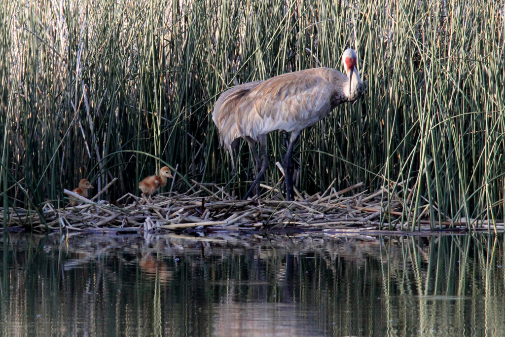 Greater Sandhill Cranes - nest return-5-ksteele-IMG_11118web