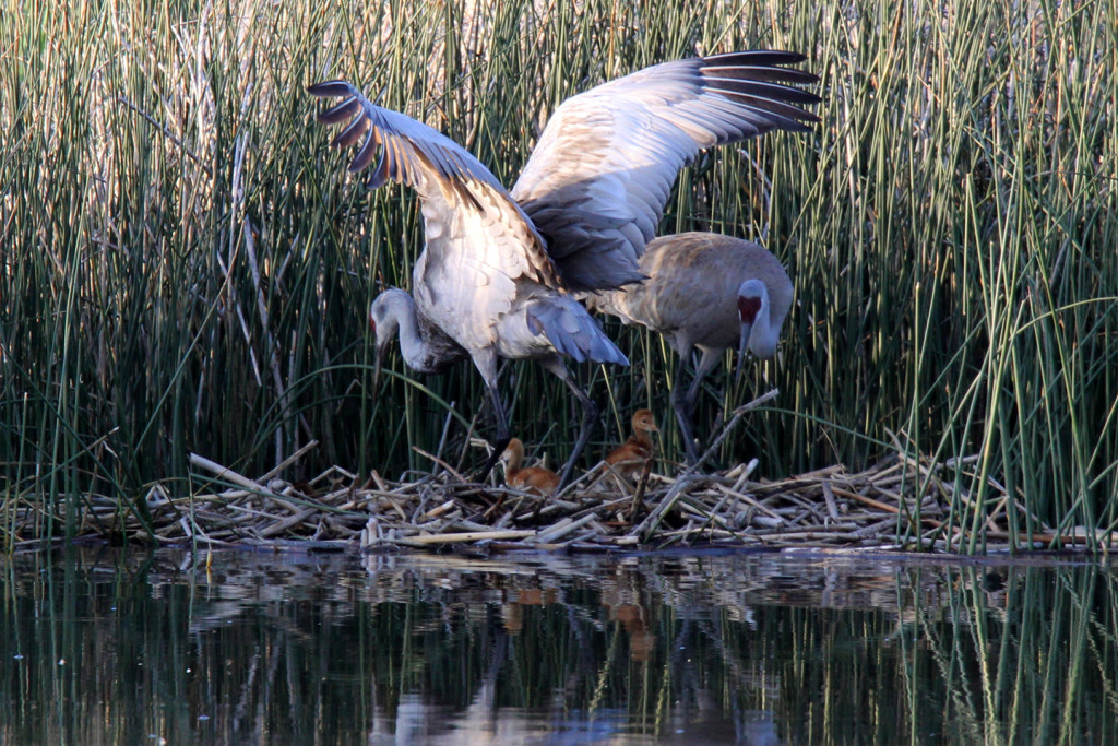 Greater Sandhill Cranes - nest return-7-ksteele-IMG_11155web
