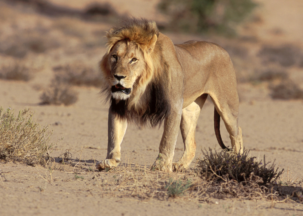 An adult lion walks the pan towards a watering hole in Kagalagadi Transfrontier Park.