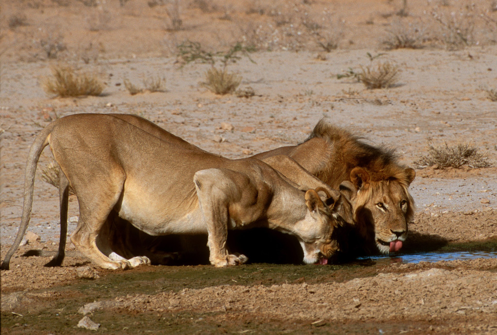 Three Kalahari lionesses and a male lion stopped to drink at a watering hole in Kagalagadi Transfrontier Park.