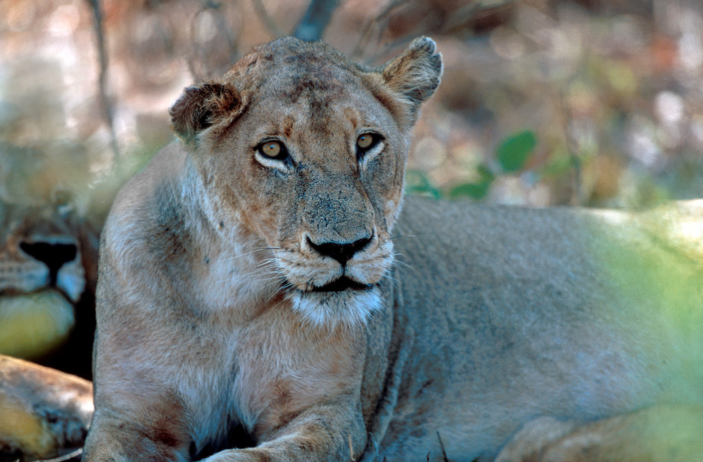 Lionesses generally do the killing of prey, but also must defend themselves from other attacking predators.