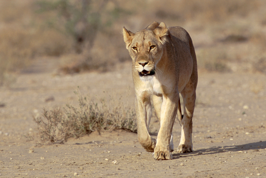 A lioness walks in the company of a male and two other lionesses. There were no cubs accompanying this small pride.