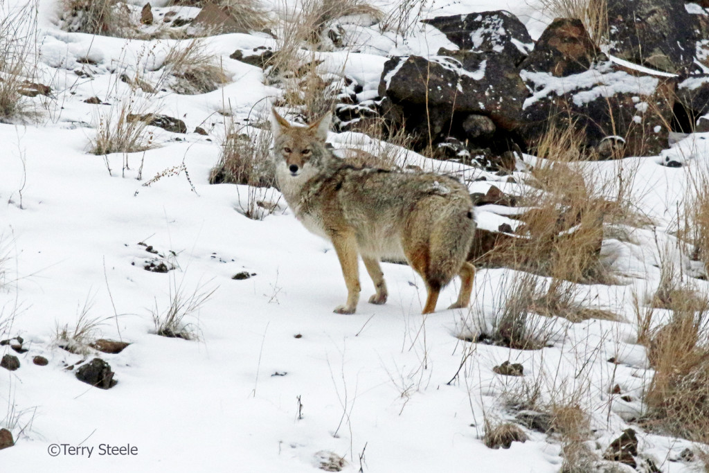 A heavily furred coyote almost appears obese, it's not.