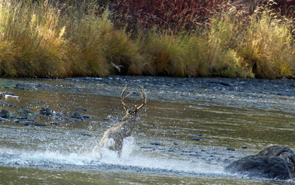 Mule deer buck struggled to free himself from barbed wire tangled in his antlers. (Photographed on the Middle Fork of the John Day River, Grant County Oregon.)