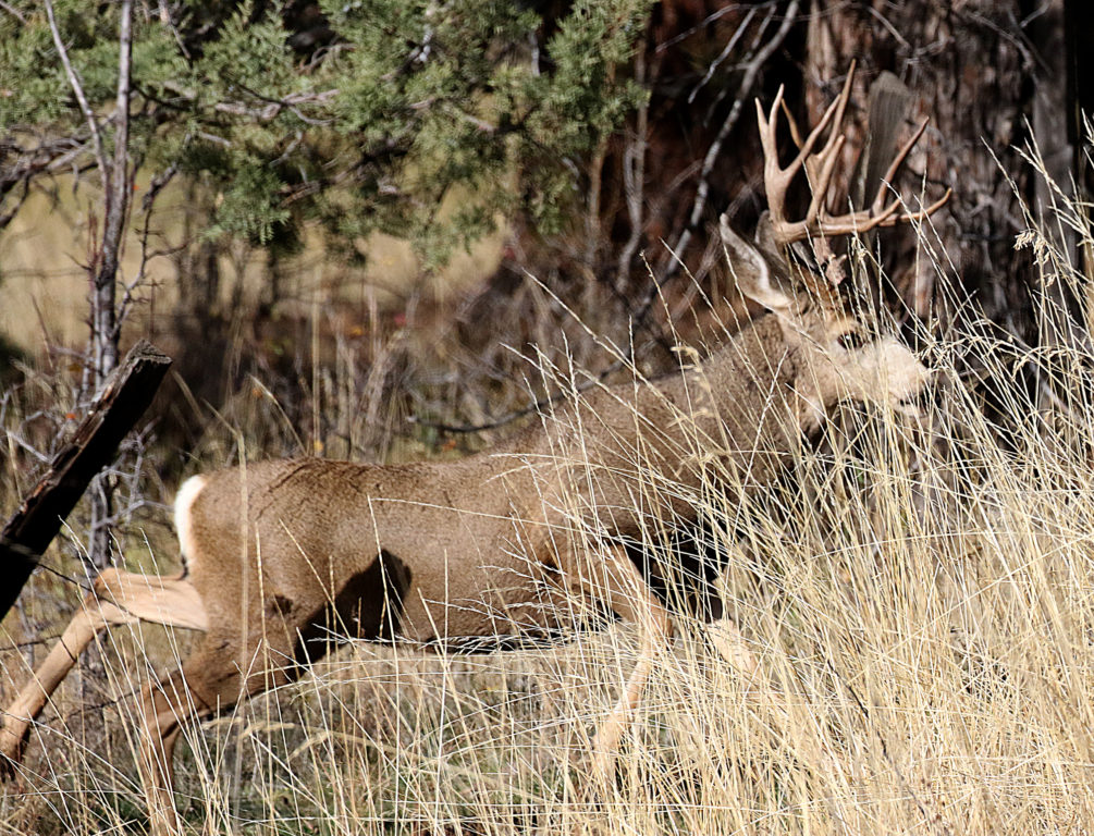 mule-deer-buck-in-fence-gh1a4635-web