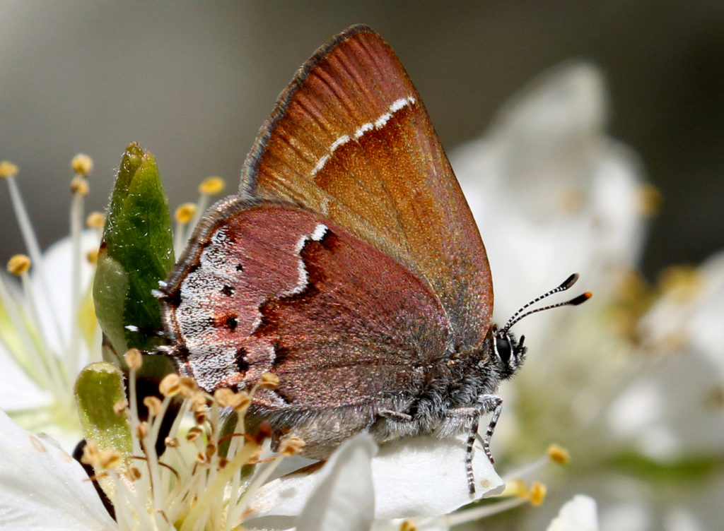 Siva Juniper Hairstreak - only 1/2 to 3/4 inches.