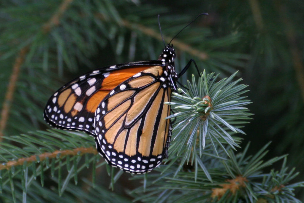 The Monarch Butterfly - famous for its migration from Mexico to Canada.