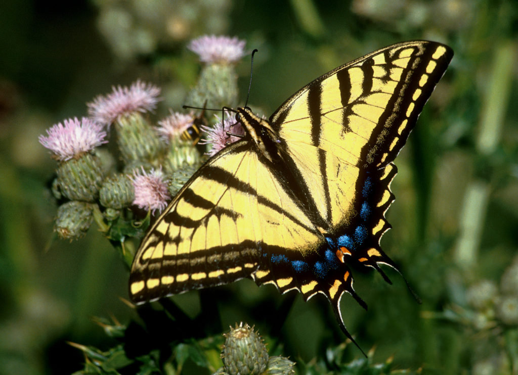 two-tailed-swallowtail