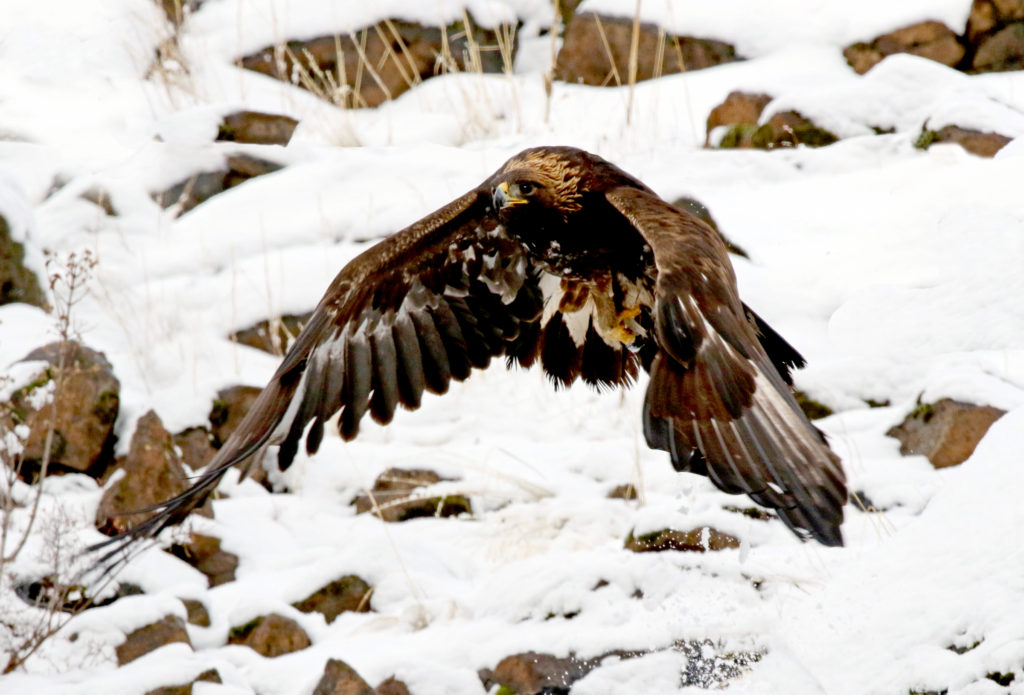 Golden Eagle - lifting up from the rim rock where birds of prey were gathered to feed on a winter kill. (Photo: KSS)