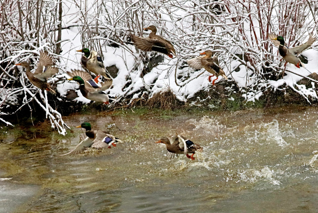 Mallard Ducks: I feel very fortunate that I timed my shutter release as to stop these mallards in flight.