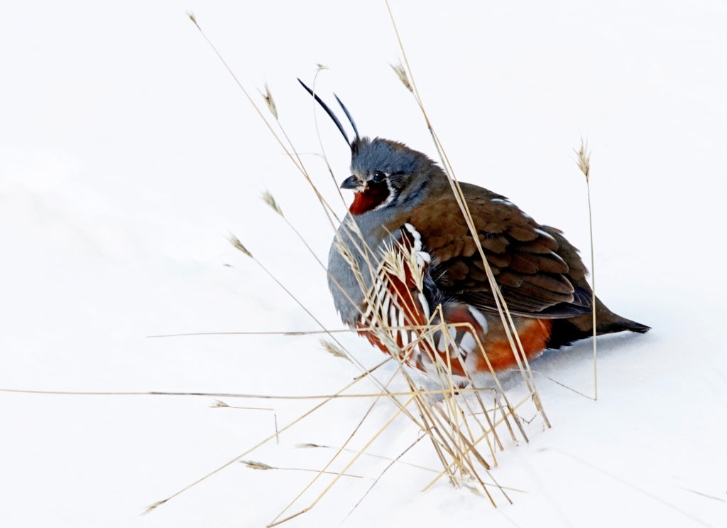 Mountain Quail: Secretive and harder to find, family groups of these beautiful birds come down from the high country to forage along the rivers during deep snowy winters. (Photo: KSS)