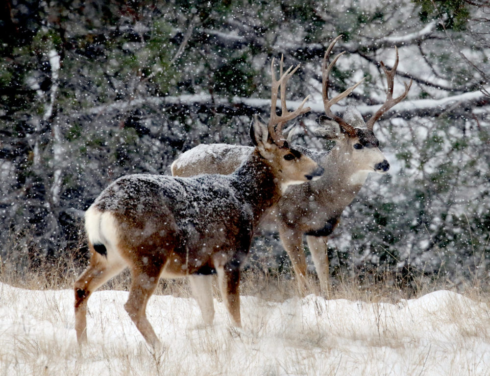 Mule deer bucks in a blizzard of snow made it tricky to catch focus.