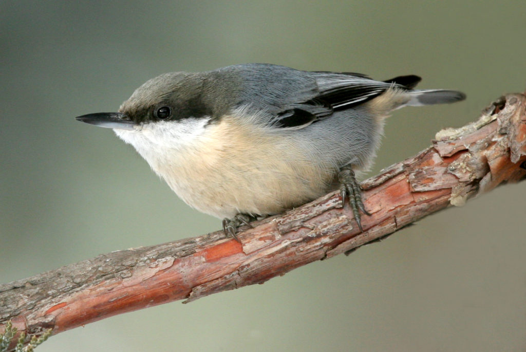 Pygmy Nuthatch perched in western juniper tree.