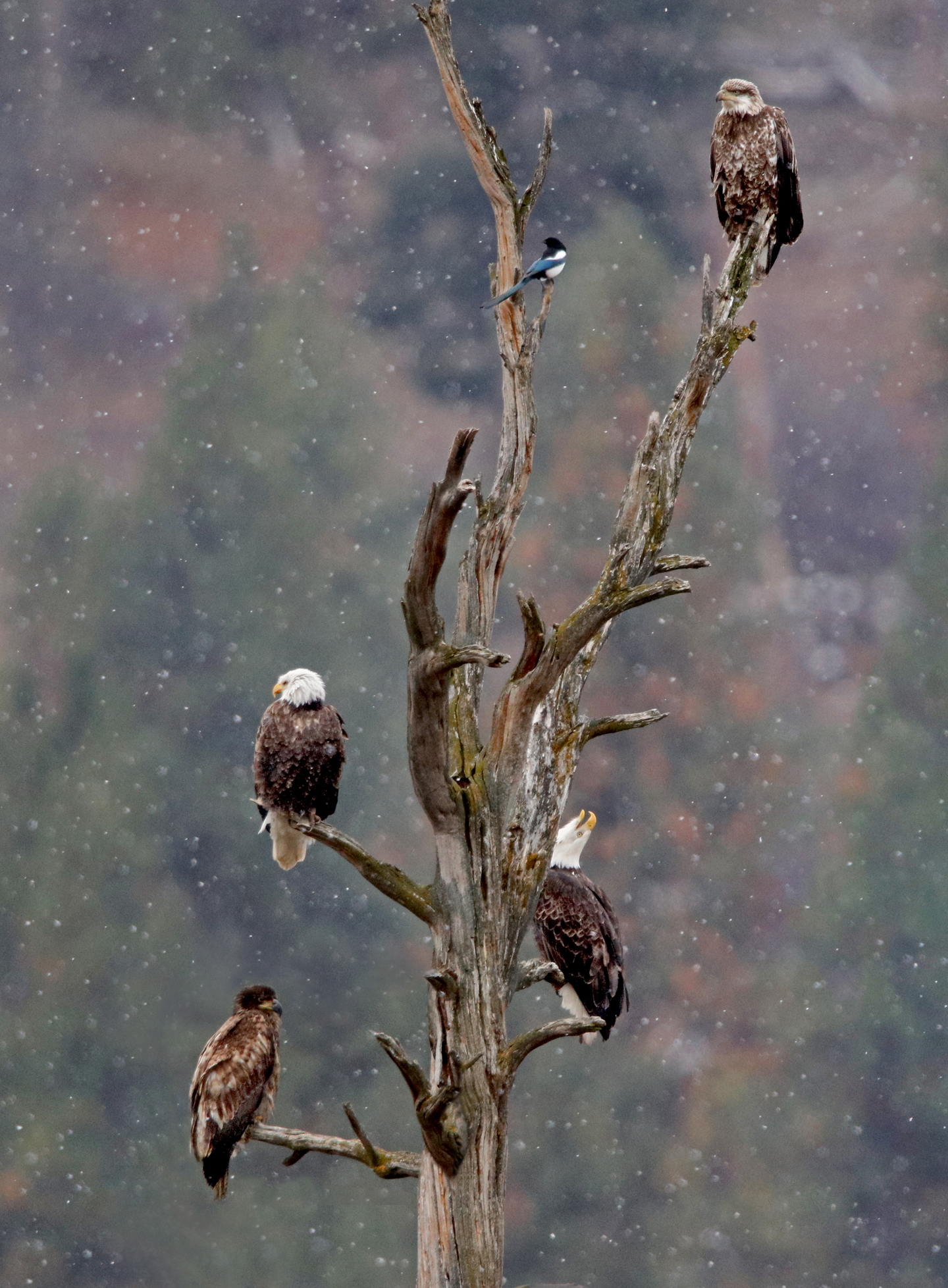 Four bald eagles - two adults, two juveniles and a black-billed magpie.