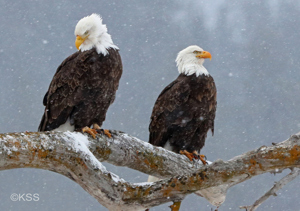 Light snowfall against darkened mountains accentuate this winter scene of bald eagles.