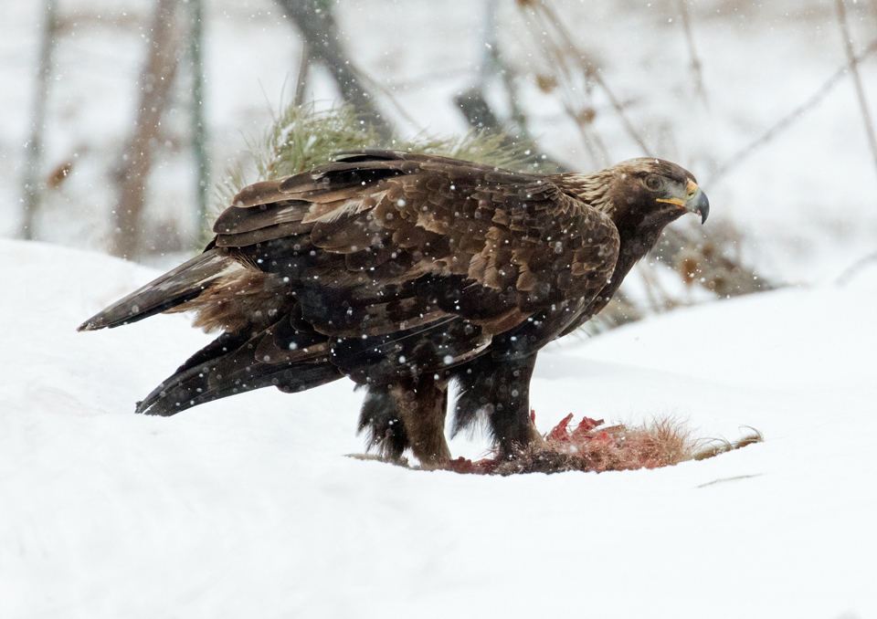 Golden eagle feeding on a road-killed coyote.