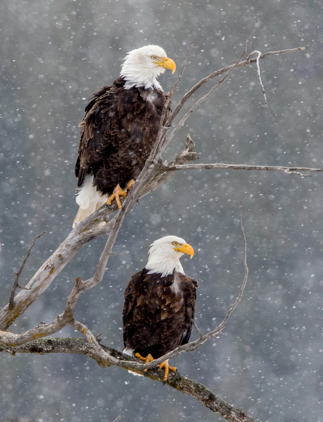 With falling snow and a darkened background, two bald eagles perch in the cottonwood tree.