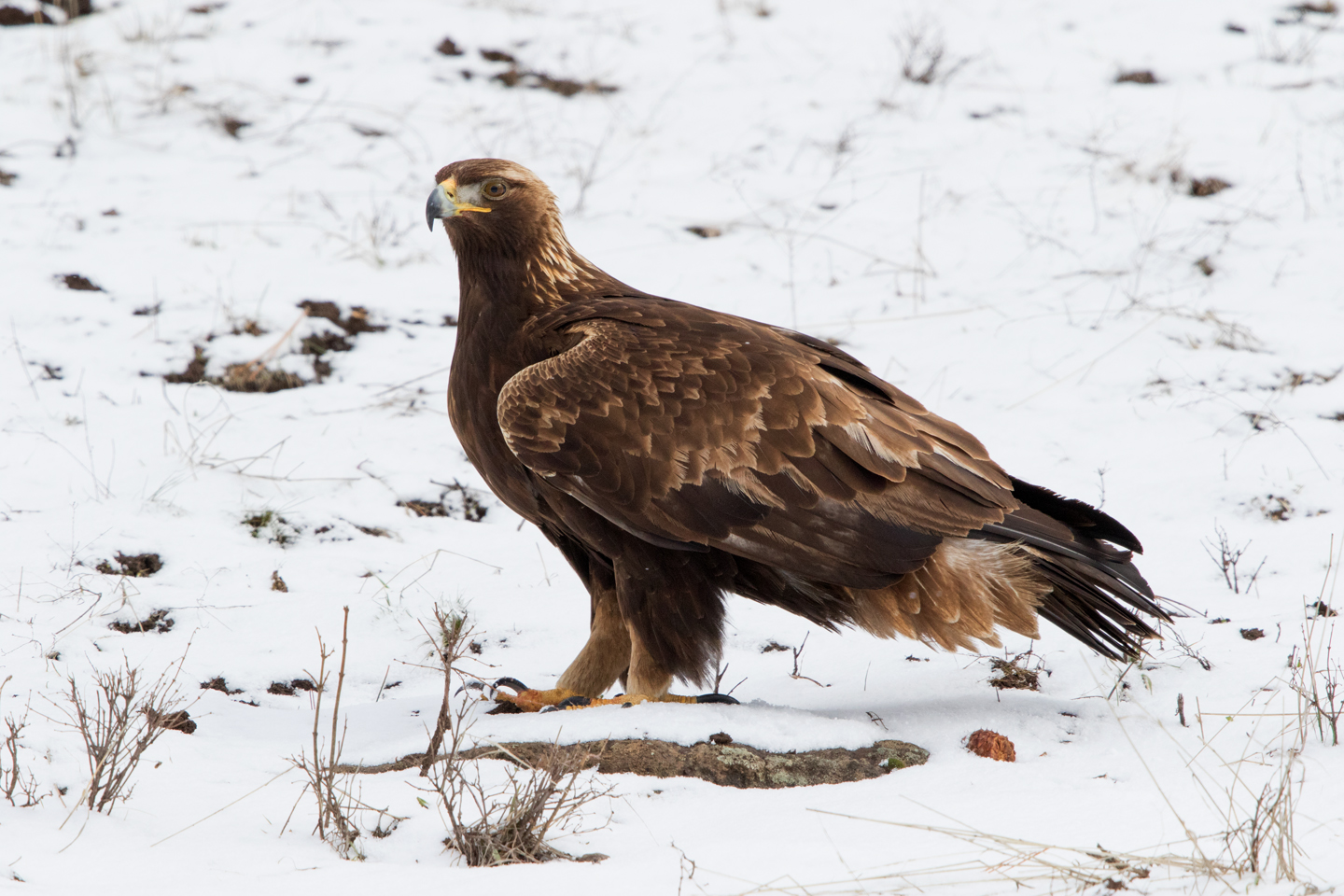 It is unusual for a golden eagle to tolerate a photographer so nearby.
