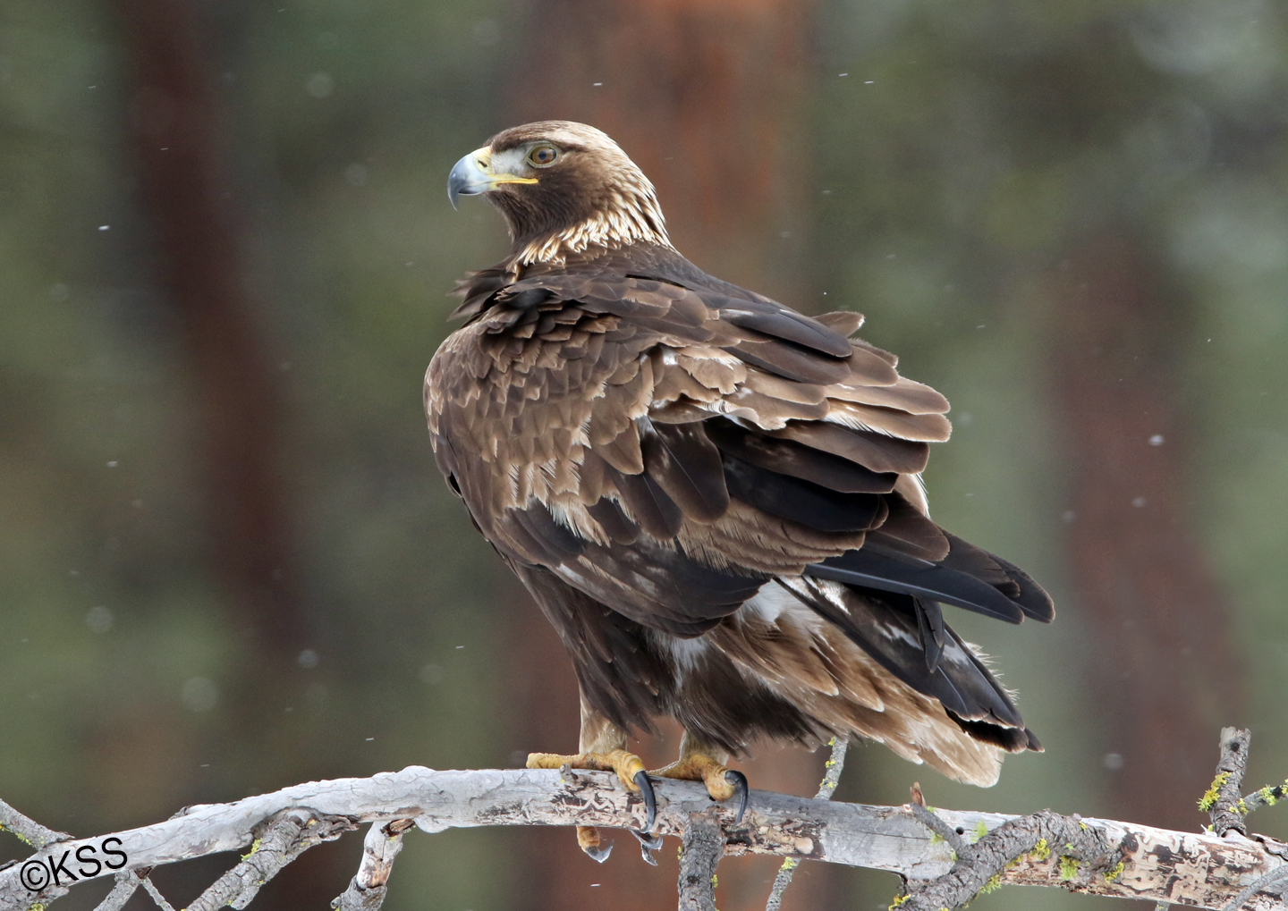 This golden eagle was the most tolerant of its kind we have ever encountered. He perched on a kill by the road, on the nearby hillside, and on a downed tree limb - offering wonderful poses.