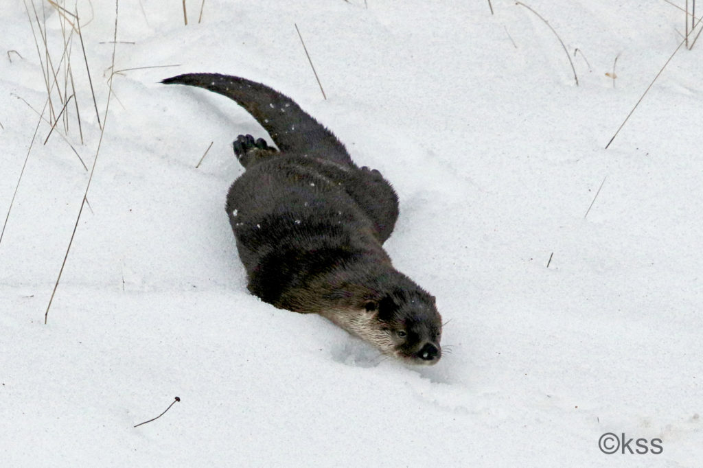 A river otter loves to play in the snow. Throwing its arms back along its sides, it sleds down the snowy bank to the river's edge.