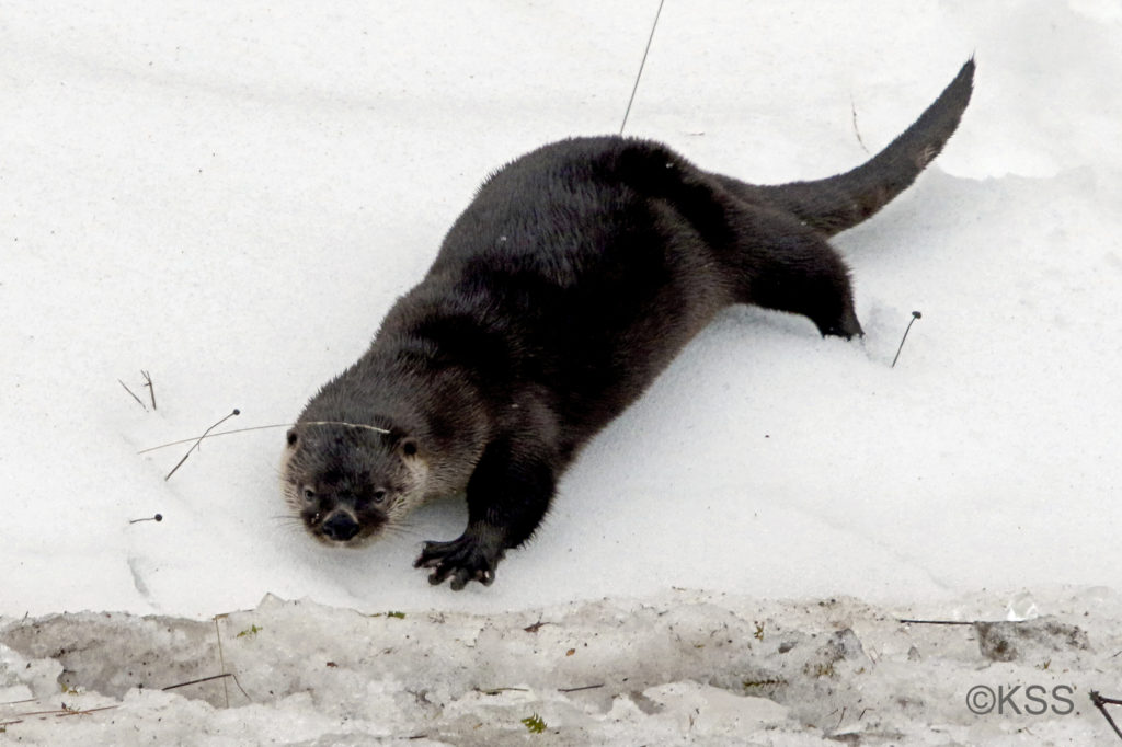 A river otter, playing in the snow, pauses to keep an eye on the photographer focused on its antics.