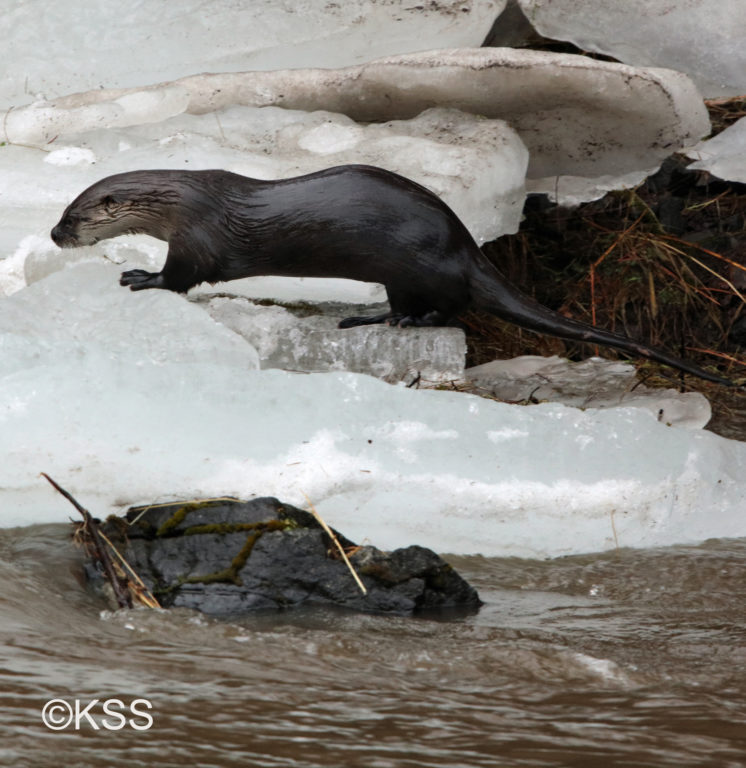 A river otter, emerges from the water with a wet, slick coat as it traverses the broken ice slabs pushed along the banks.