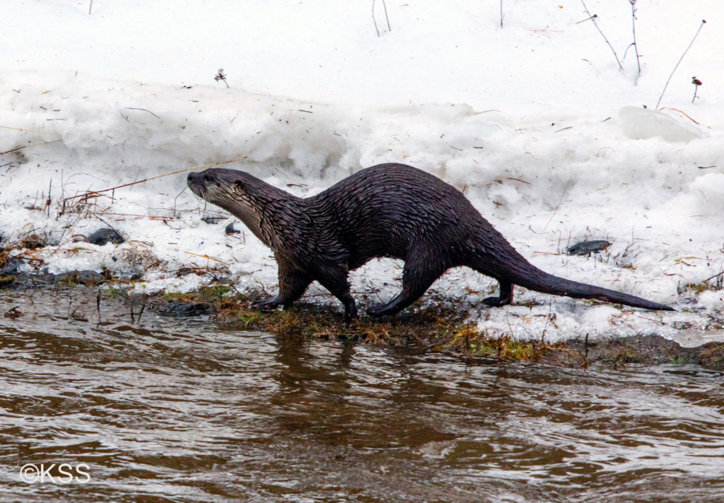 River otters are constant motion. This one is travelling the river bank when a sudden thaw released huge ice blocks in the flow and made travel by water high risk.