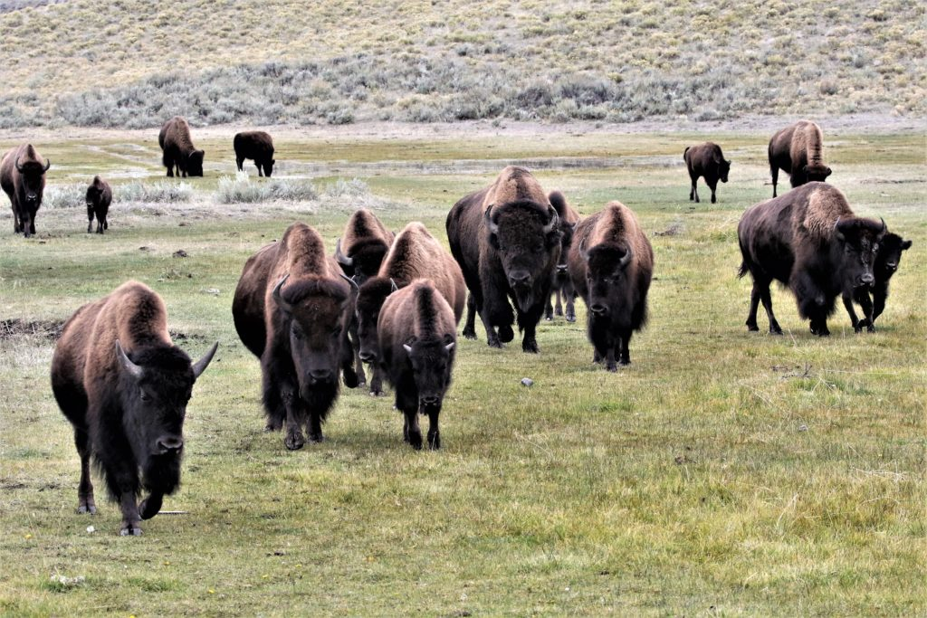 A herd of bison approached us in Lamar Valley