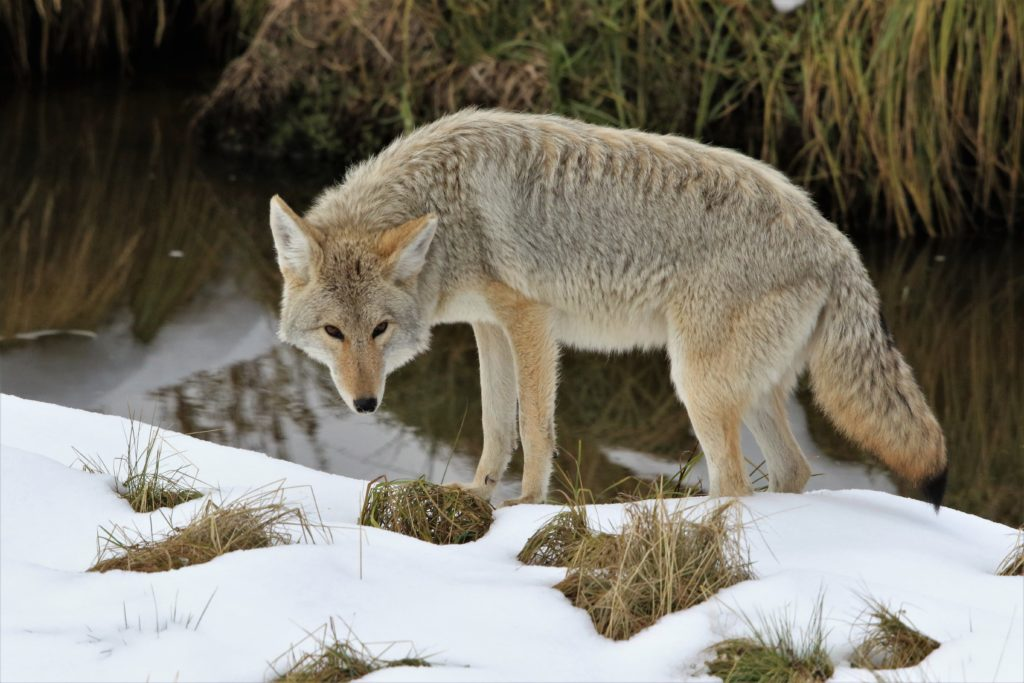 A Yellowstone Coyote in Haydn Valley. Coyotes are sometimes mistakenly identified as wolves by people.