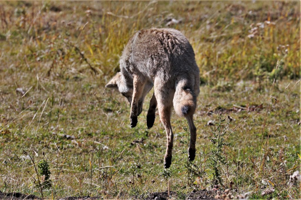 A vole-pouncing coyote in Lamar Valley.
