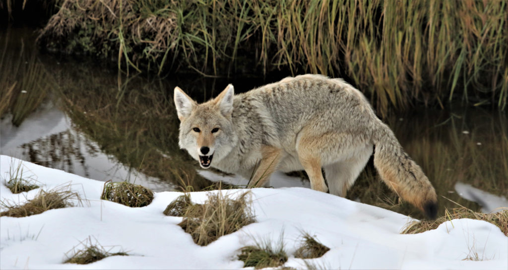Coyotes may appear wary, but they do not appear to fear people like hunted coyotes might.