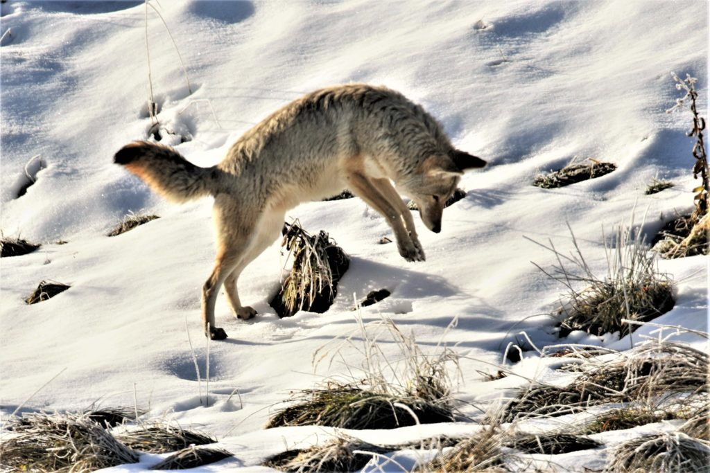 Locating the vole beneath the snow by sound only, the coyote pounces to capture its prey.