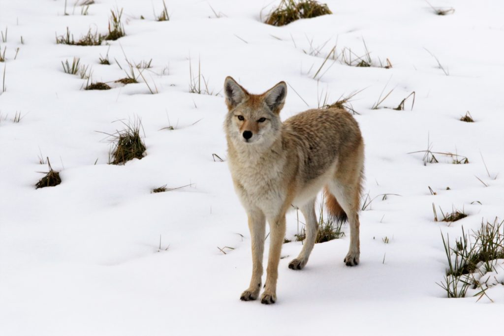 Yellowstone coyotes will tolerate nearby vehicles, unlike coyotes in our area where they are hunted from roadsides.