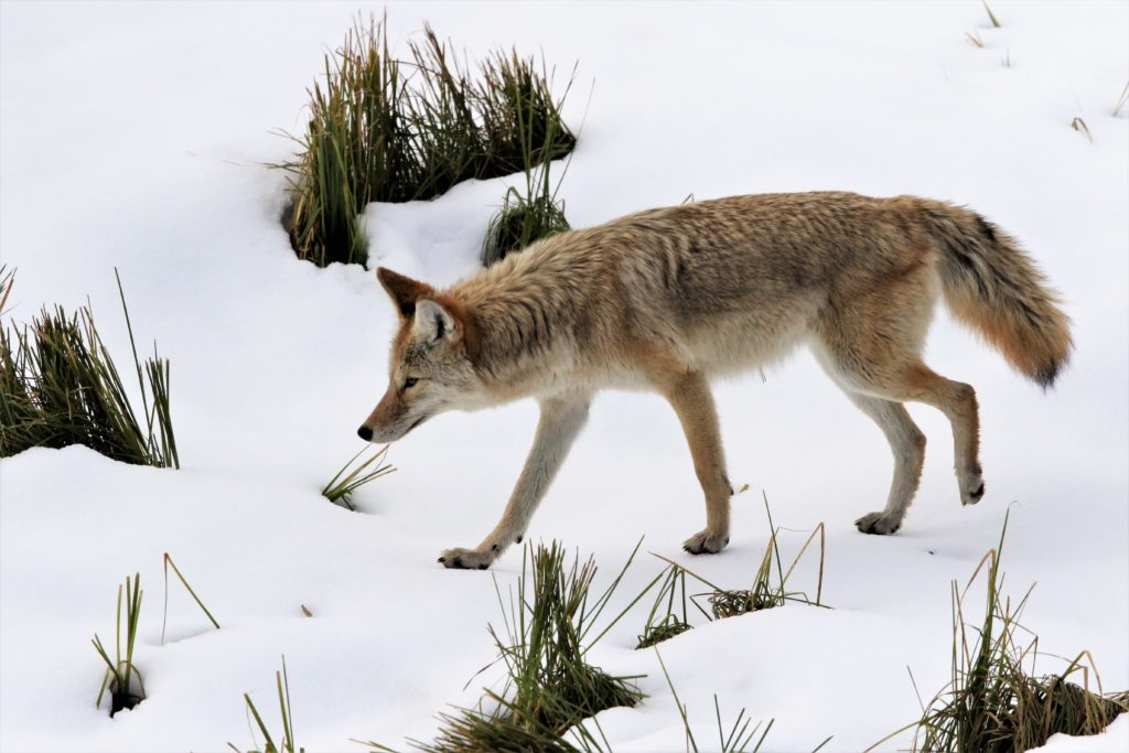 Ears are perked as the coyote, light-footed, creeps along listening for prey beneath the snow.