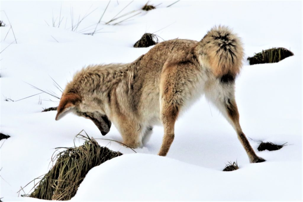 With regular accuracy, the coyote caught several voles within just a few minutes of one another.