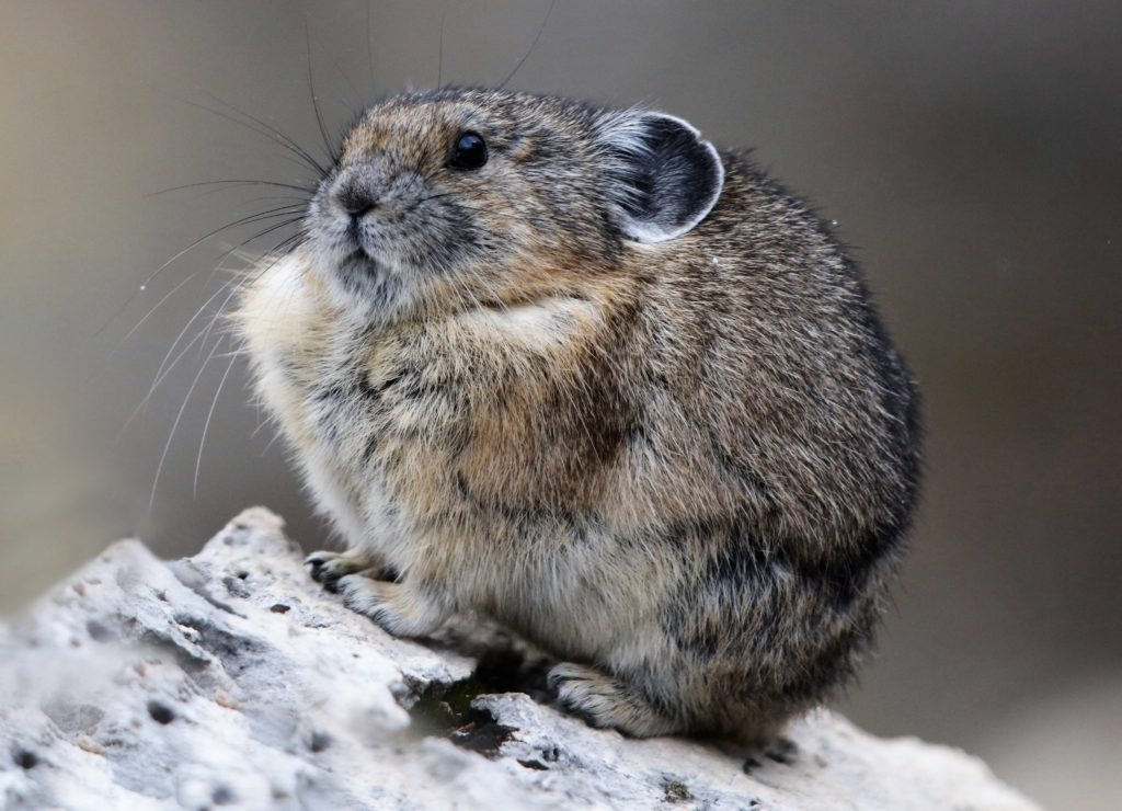 American Pika - a non-hibernator, it builds haystacks under rock overhangs.