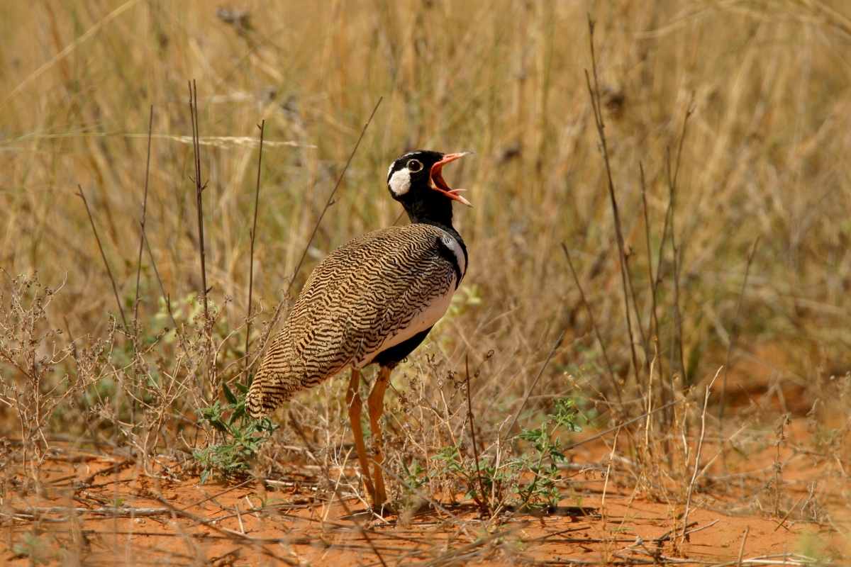 Africa – Francolins & Ostriches to Bustards – Nature ...