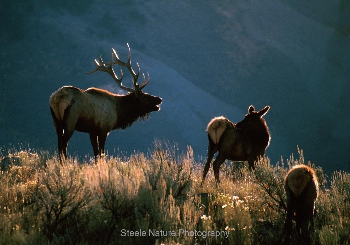 elk nature photography
